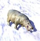 Hippo_Calf