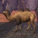 Khitan Camel